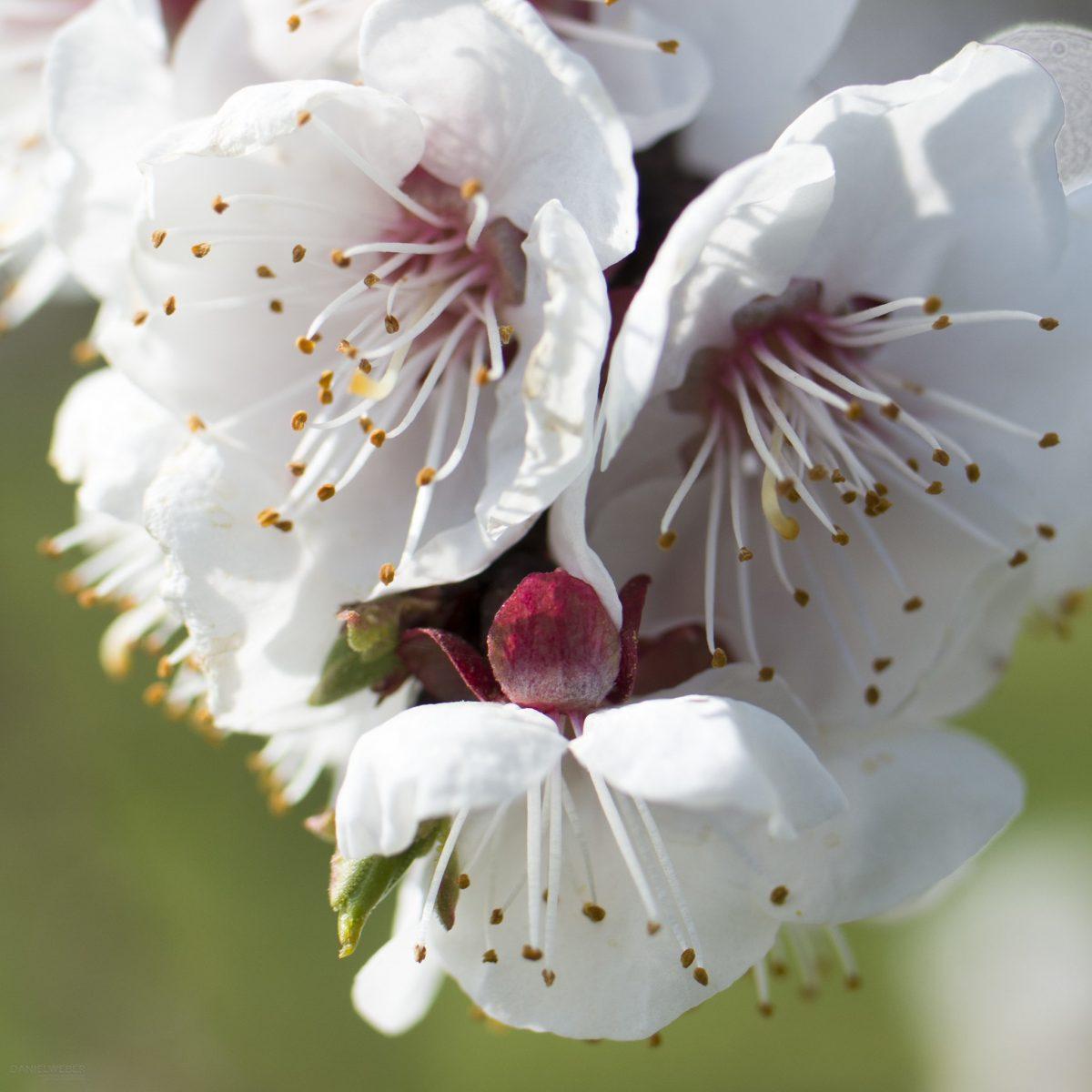 Marillenblüte Wachau